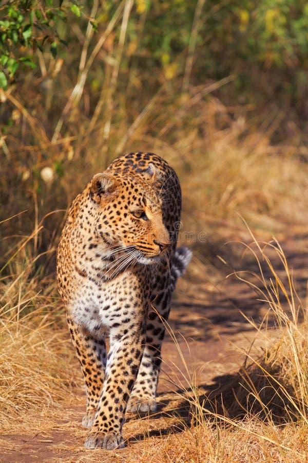 Vrouwelijke luipaard in Masai Mara royalty-vrije stock afbeeldingen
