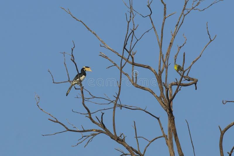 Vrouwelijke Malabar Bonte Hornbill stock afbeeldingen