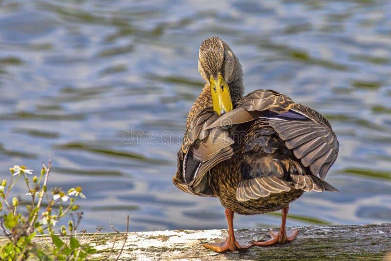 Vrouwelijke Mallard Duck Preening Herself royalty-vrije stock afbeeldingen