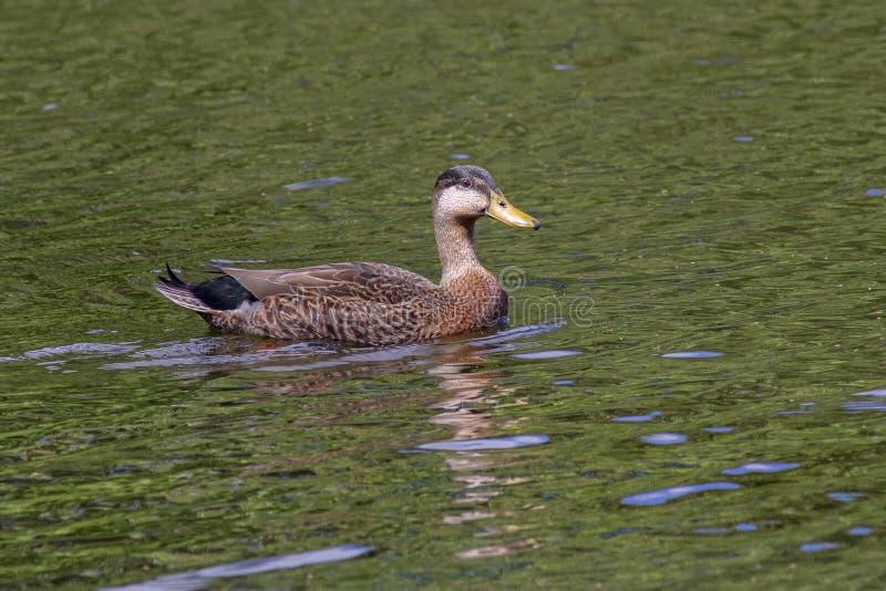 Vrouwelijke Mallard Duck Swimming stock fotografie