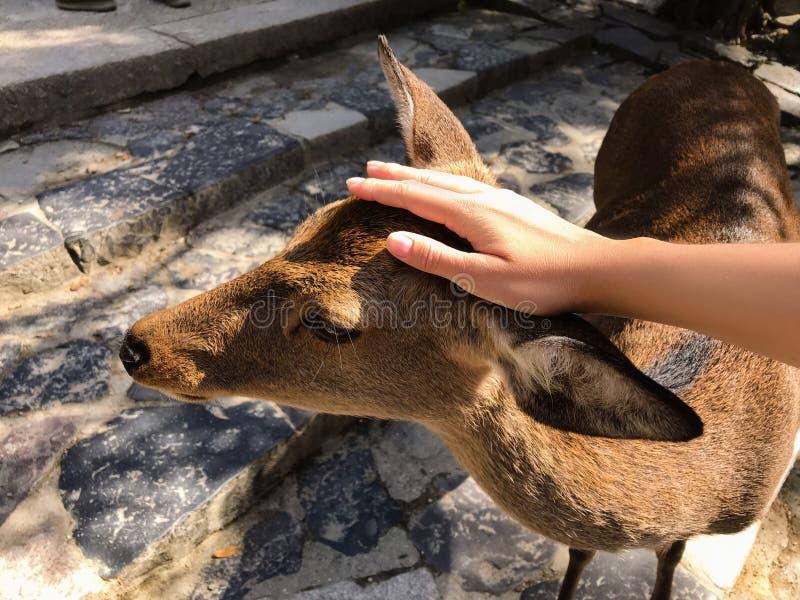 Vrouwelijke meisjeshand die een mooi hert in Nara, Japan petting stock foto's
