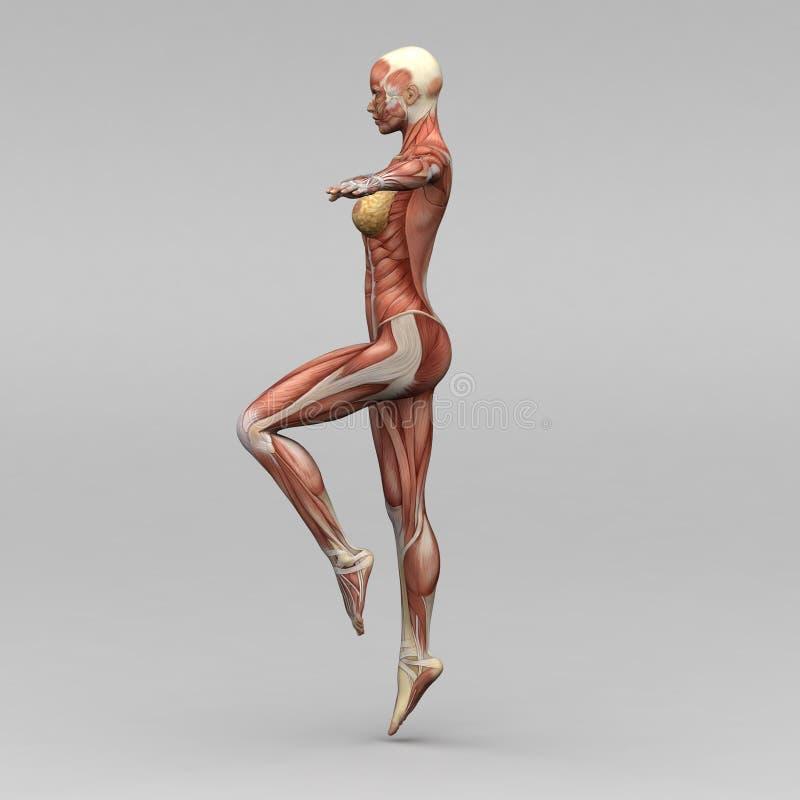 Vrouwelijke menselijke anatomie en spieren royalty-vrije illustratie