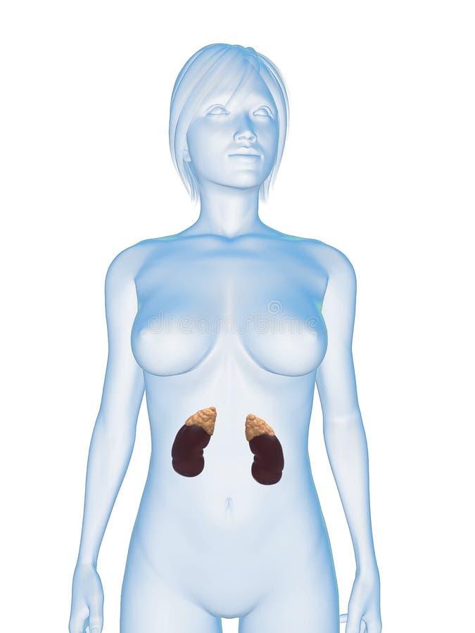 Vrouwelijke nieren vector illustratie