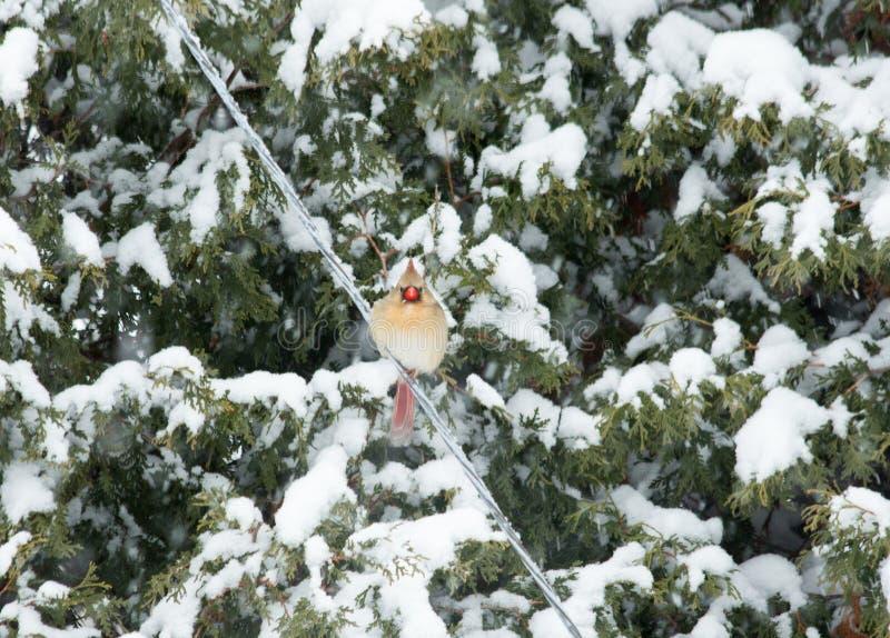 Vrouwelijke Noordelijke Kardinaal in de sneeuw royalty-vrije stock afbeeldingen