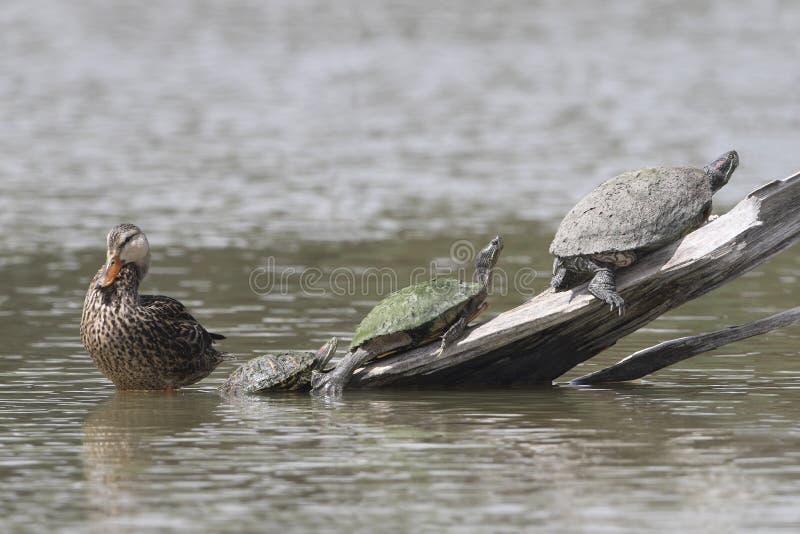 Vrouwelijke Wilde eend en Drie Schildpadden - Texas stock fotografie