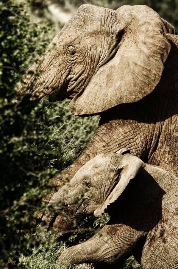 Vrouwelijke olifant met babyolifant in de Afrikaanse savanne stock afbeeldingen