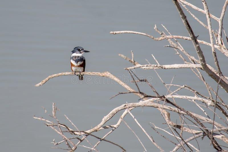 Vrouwelijke Omgorde die Ijsvogel op een dode boom wordt neergestreken royalty-vrije stock foto