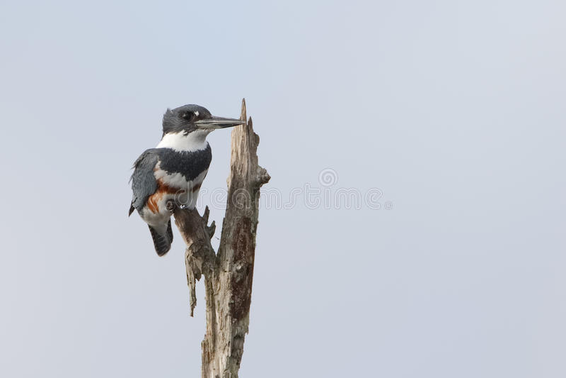 Vrouwelijke Omgorde Ijsvogel - Florida royalty-vrije stock fotografie