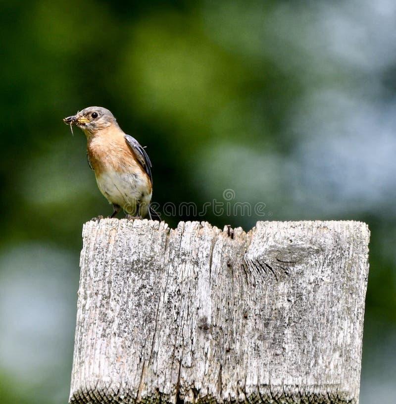 Vrouwelijke Oostelijke Blauwe Vogel met een Insect #1 royalty-vrije stock fotografie