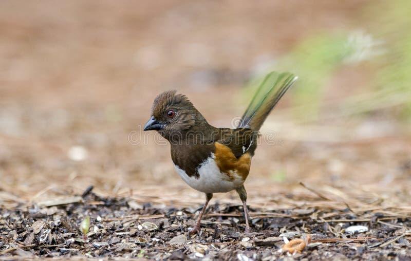 Vrouwelijke Oostelijke Towhee-vogel die zaad, Athene GA, de V.S. eten stock foto