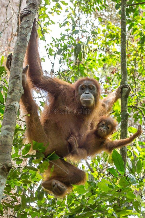 Vrouwelijke orangoetan met een baby die op een boom hangen royalty-vrije stock foto