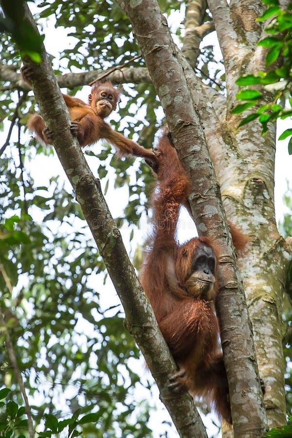 Vrouwelijke orangoetan met een baby die op een boom hangen stock afbeelding