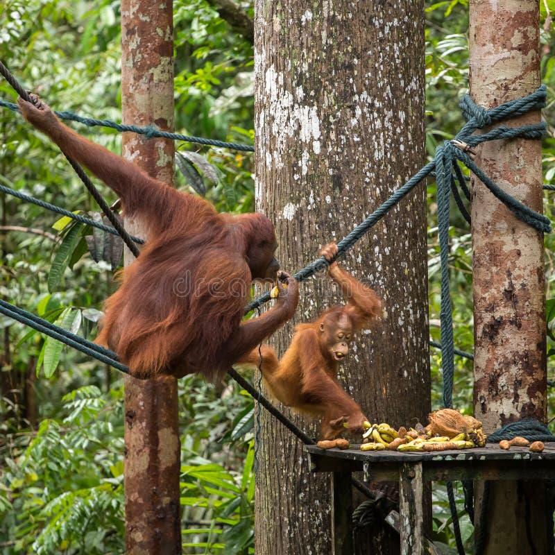 Vrouwelijke orangoetan met een baby op het het voeden platform royalty-vrije stock foto