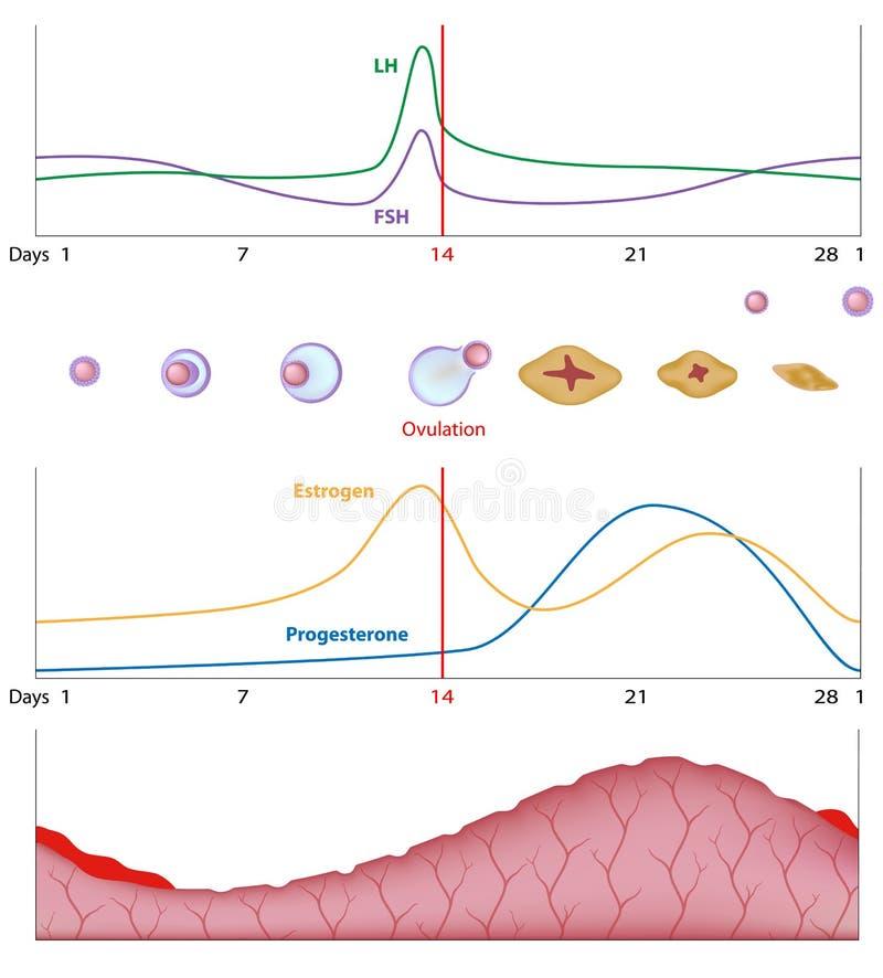 Vrouwelijke seksuele cyclus stock illustratie