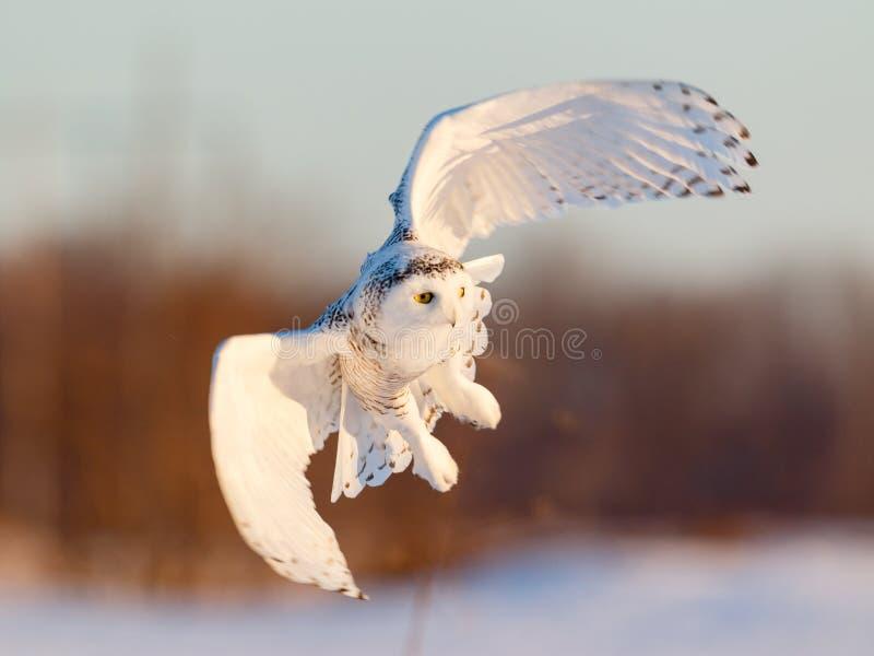 Vrouwelijke Sneeuwuil tijdens de vlucht stock afbeelding