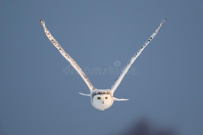 Vrouwelijke Sneeuwuil tijdens de vlucht royalty-vrije stock afbeelding