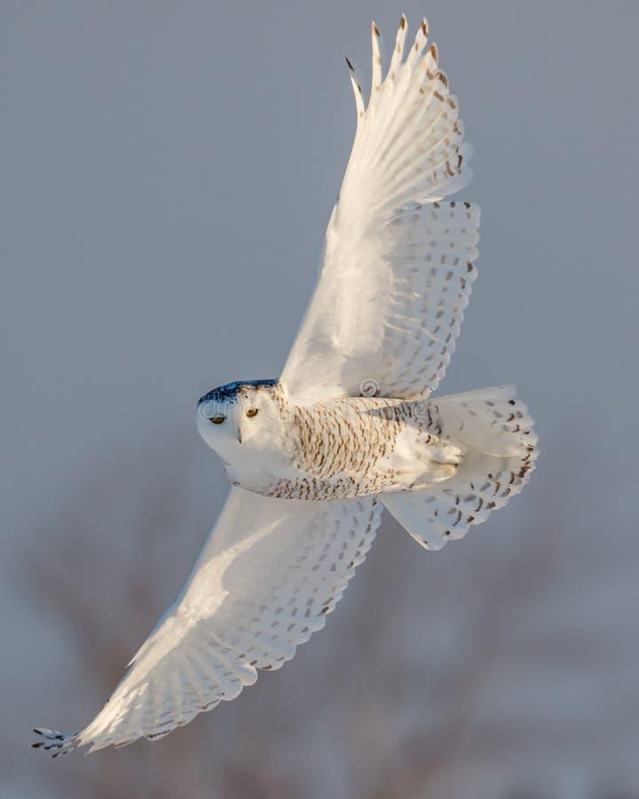 Vrouwelijke Sneeuwuil tijdens de vlucht stock fotografie