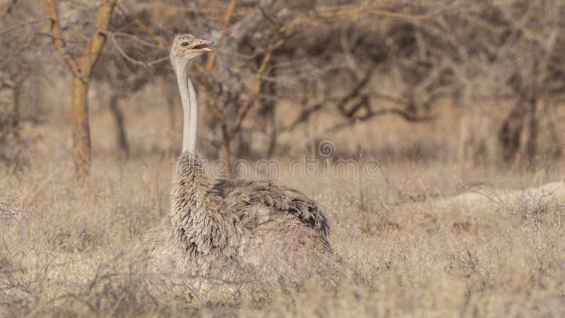 Vrouwelijke Somalische Struisvogel in Savanne royalty-vrije stock afbeeldingen