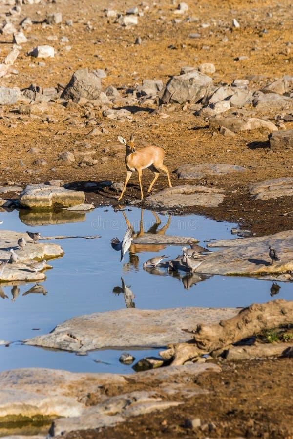 Vrouwelijke steenbokantilope bij waterhole in de ochtend stock fotografie
