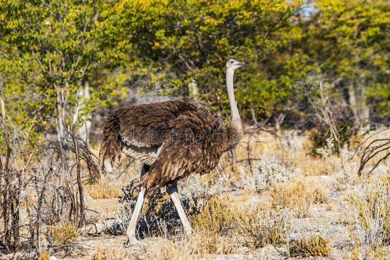 Vrouwelijke struisvogel die in het de winterbos lopen van het nationale park van Etosha royalty-vrije stock foto's