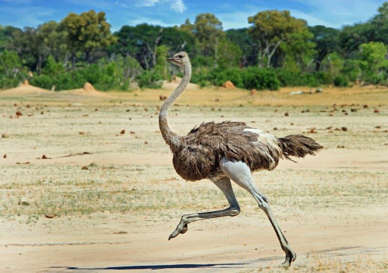 Vrouwelijke struisvogel die over de Hwange-Vlaktes lopen stock foto