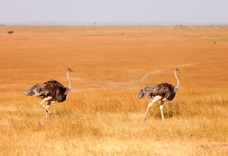 Vrouwelijke struisvogels, Amboseli-park, Kenia royalty-vrije stock fotografie