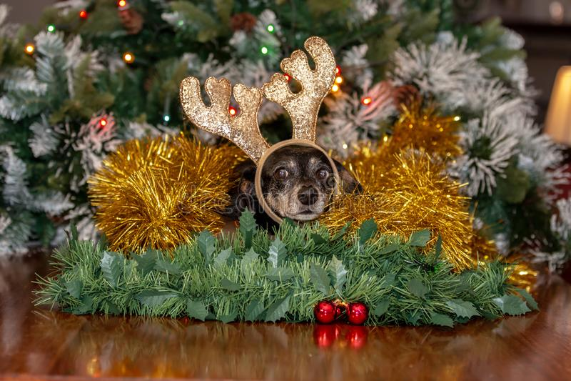 Vrouwelijke Tekkelhond die de geweitakken van het Kerstmisrendier dragen royalty-vrije stock afbeeldingen