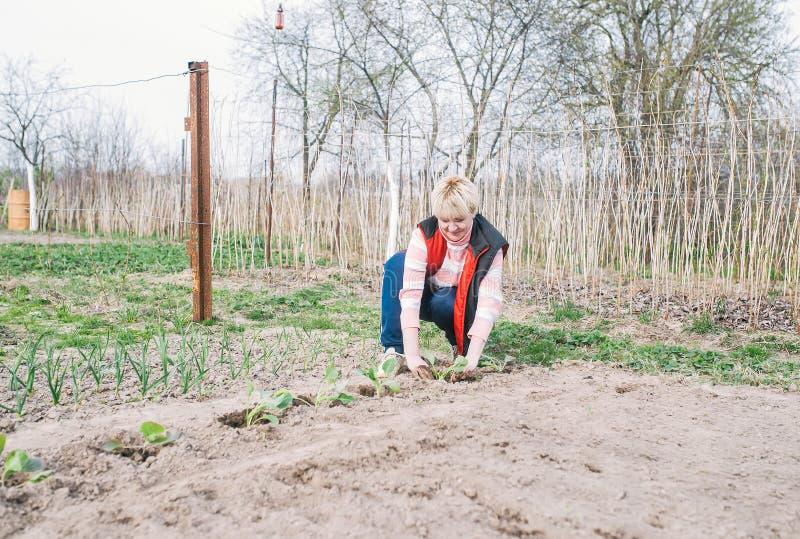 Vrouwelijke tuinman die kool in grond plant royalty-vrije stock afbeeldingen