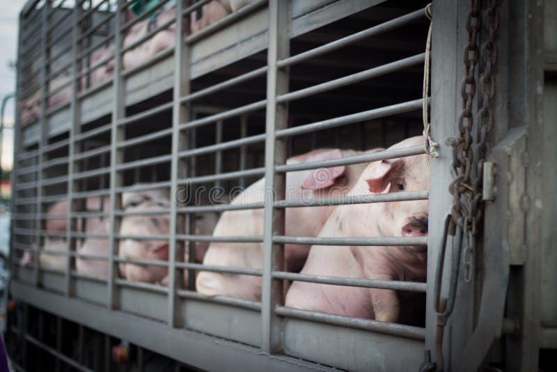 Vrouwelijke varkens royalty-vrije stock fotografie