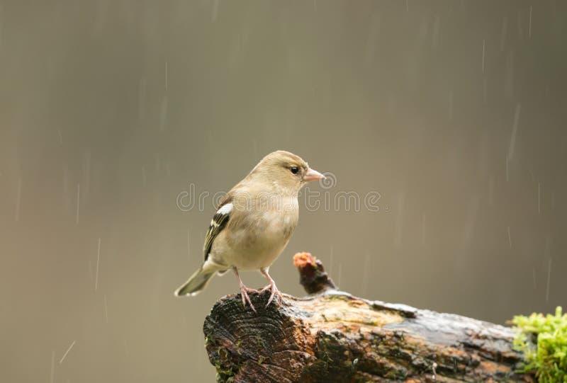 Vrouwelijke vink die op een tak in de regen neerstrijken stock fotografie