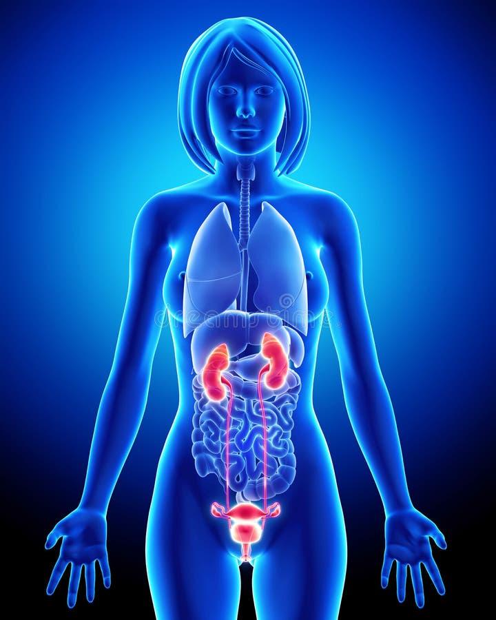 Vrouwelijke voortplantingsorganen met testikel royalty-vrije illustratie