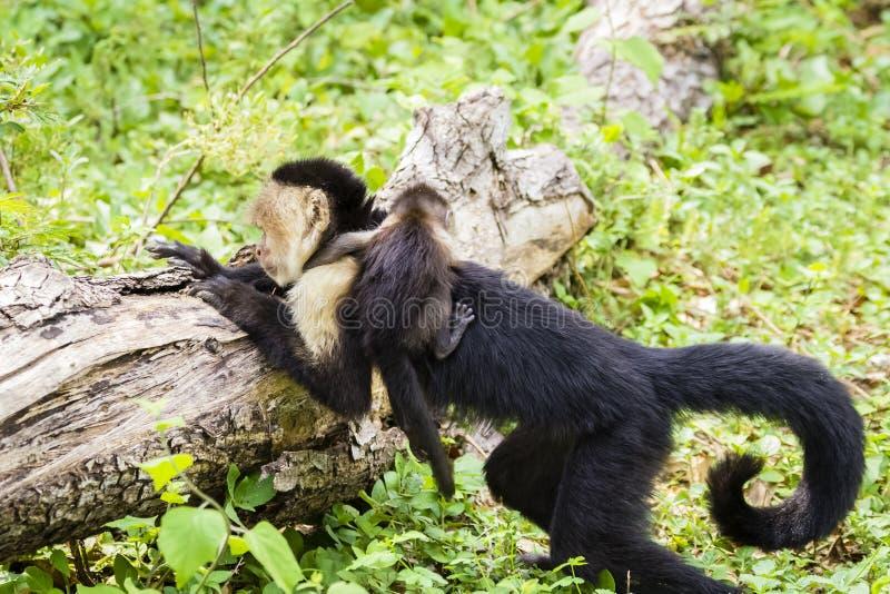 Vrouwelijke white-headed capuchin met baby - Cebus-capucinus royalty-vrije stock afbeeldingen