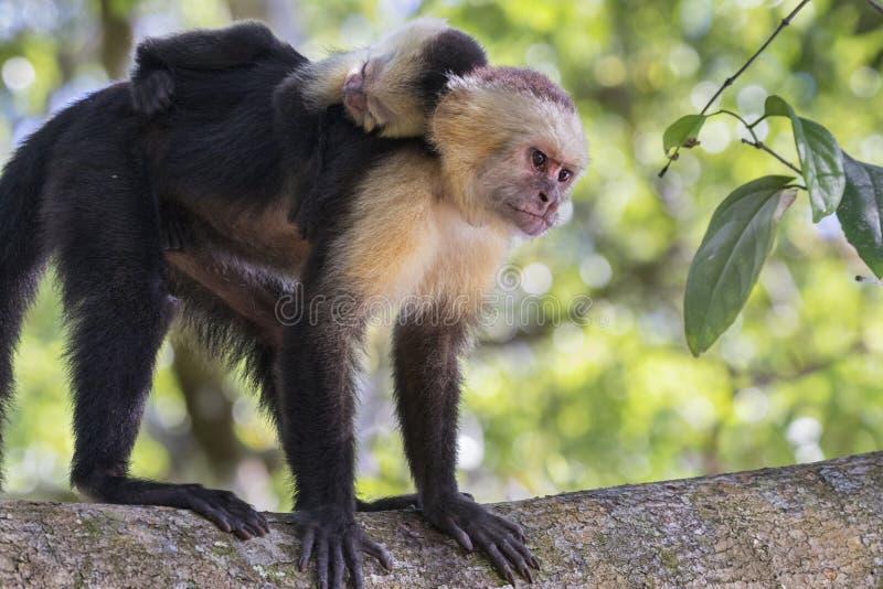 Vrouwelijke White-headed capuchin met terug baby op haar royalty-vrije stock fotografie