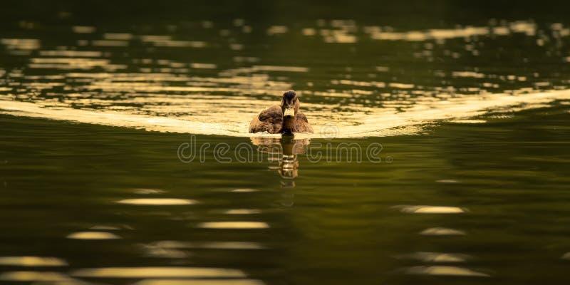 Vrouwelijke Wilde eend Duck On Golden Water stock foto's