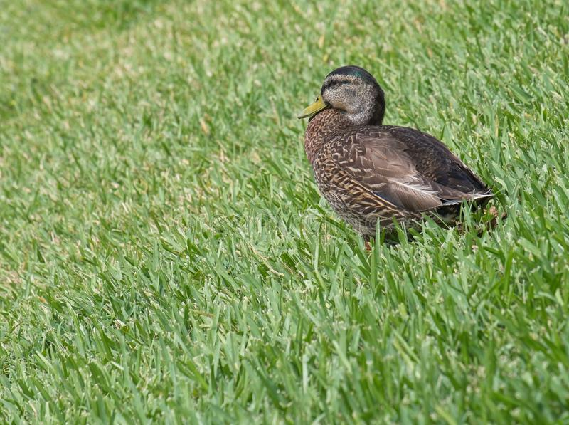 Vrouwelijke wilde eendeend in groen gras stock fotografie