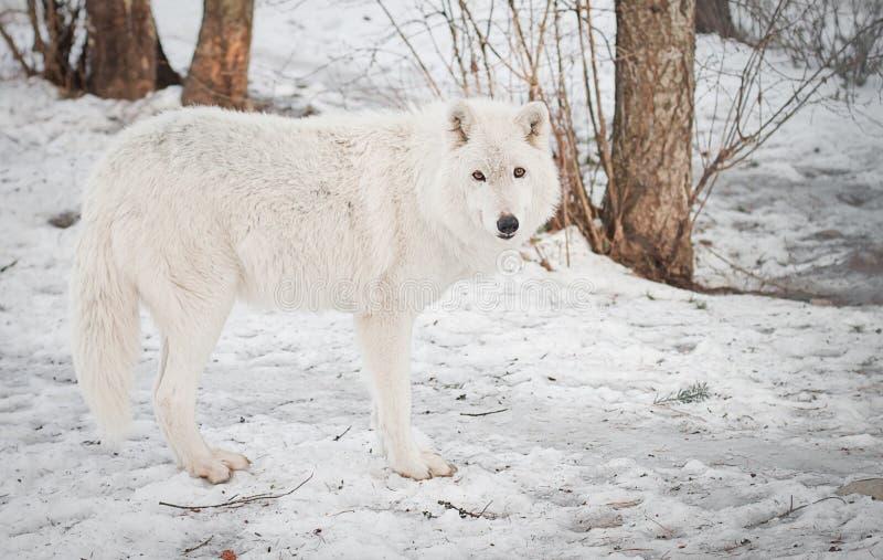 Vrouwelijke wolf stock afbeeldingen