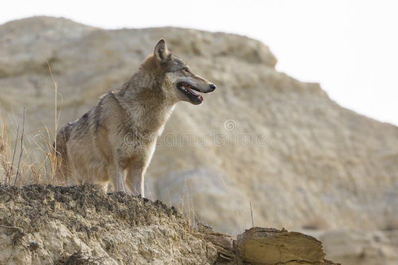 Vrouwelijke wolf die zich dichtbij klippenrand bevinden royalty-vrije stock foto's