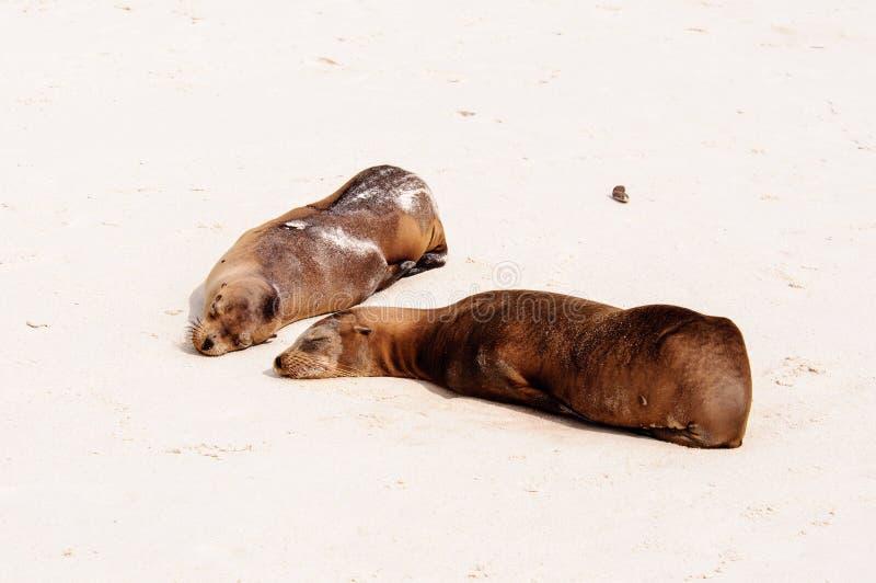 Vrouwelijke zeeleeuw met jong op een strand in de Galapagos stock foto's