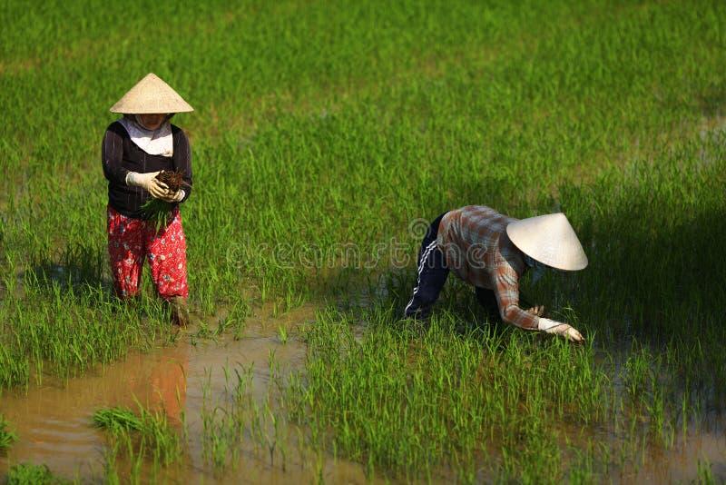 Vrouwen die aan een padieveldgebied werken in Vietnam royalty-vrije stock afbeelding