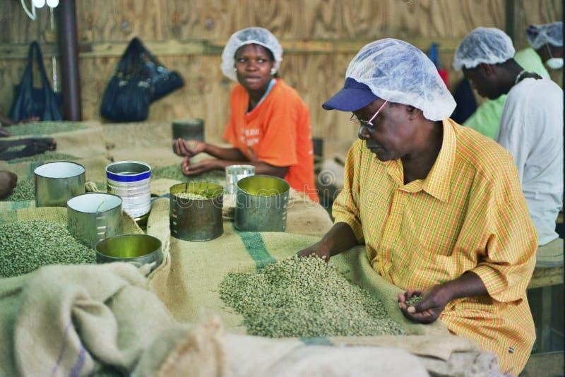 Vrouwen die bij een koffiefabriek werken stock foto's