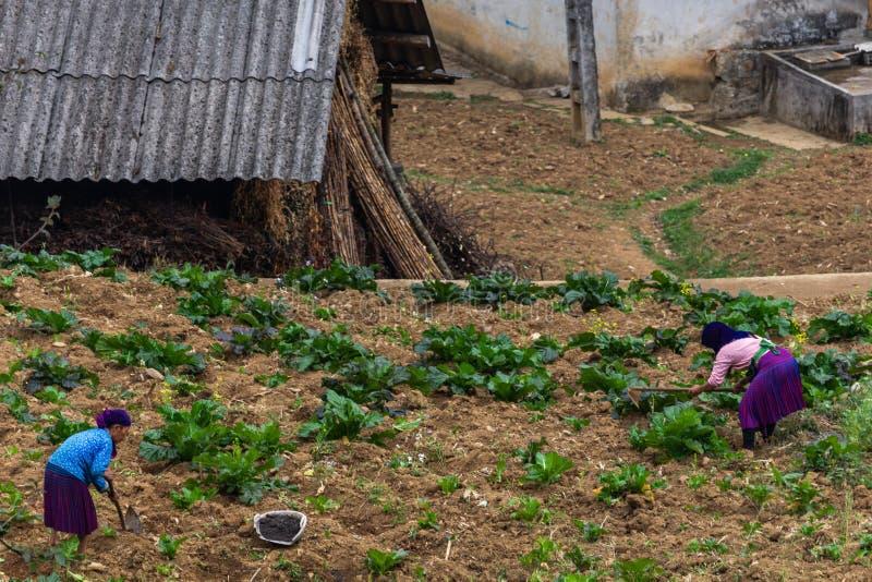 Vrouwen die in landbouw Vietnam werken royalty-vrije stock fotografie