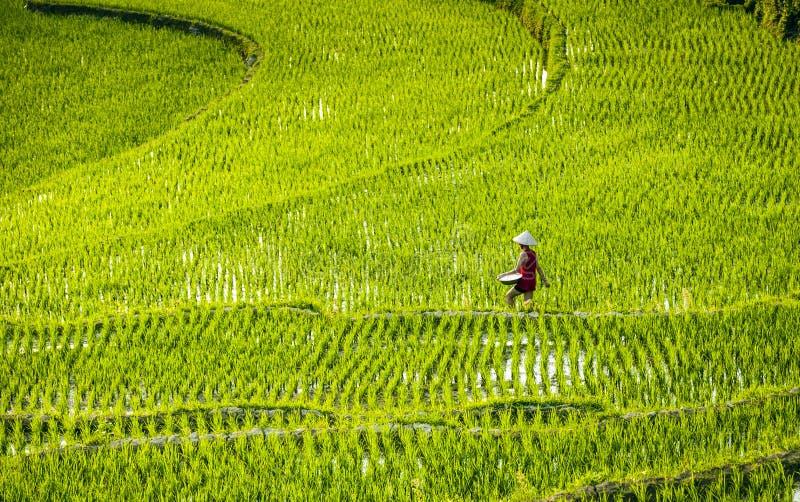 Vrouwen die in padieveld Vietnam 2015 werken royalty-vrije stock afbeelding