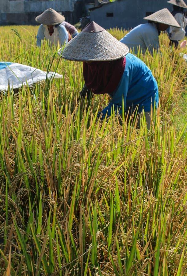 Vrouwen die rijst oogsten royalty-vrije stock afbeelding