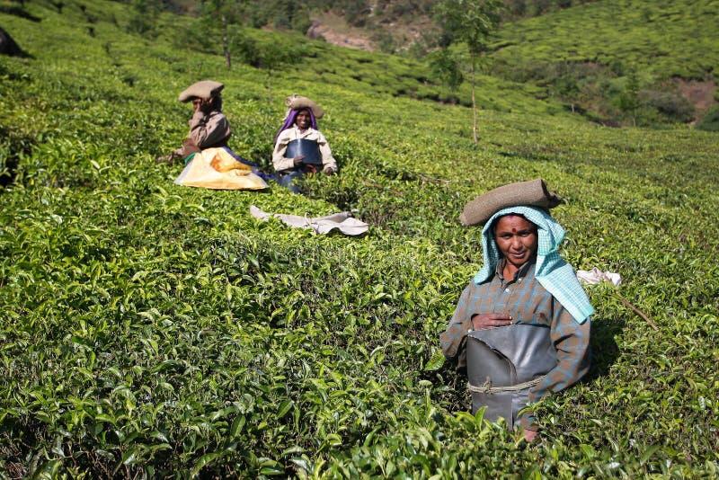 Vrouwen op de theeaanplanting in India stock fotografie