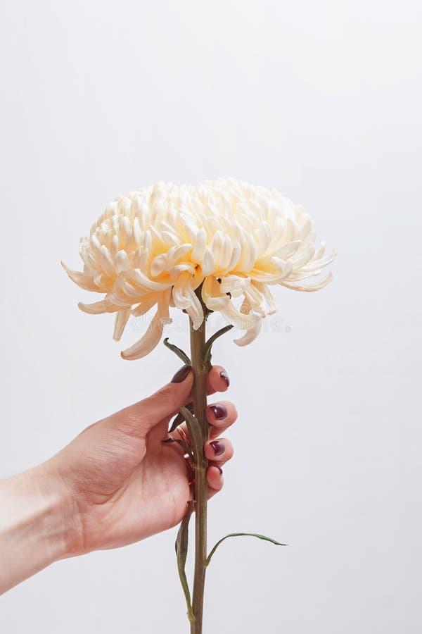 Vrouwen` s hand die mooie bloem houden dichtbij de witte muur stock foto