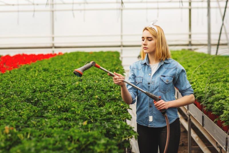 Vrouwenbloemist het water geven bloemen in de serre Concept serres en installaties stock foto's