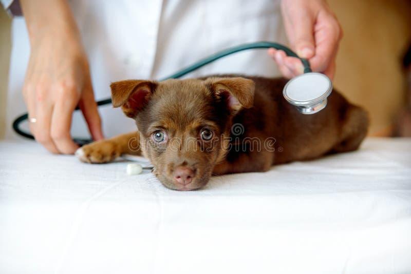 Vrouwendierenarts die gezondheid van Spitz hond in kliniek onderzoeken royalty-vrije stock afbeelding