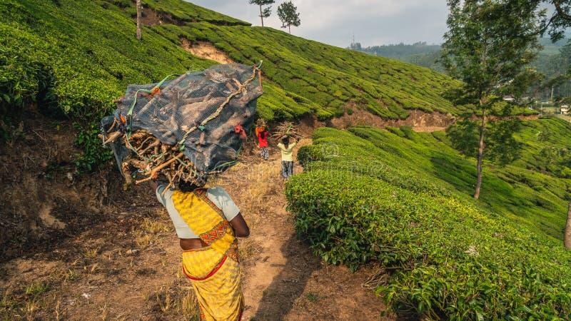 Vrouwengang in de theeaanplanting in munnar Indische arbeider met zijn zoonskind stock foto