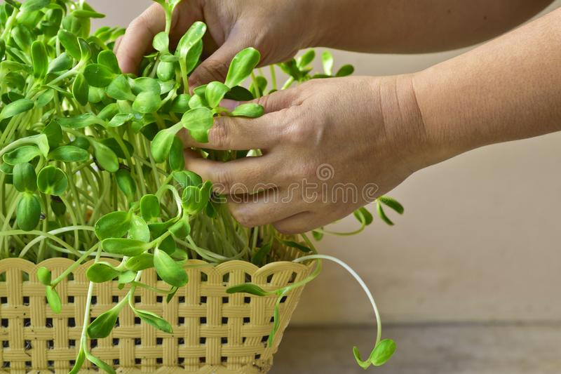 Vrouwenhand die groene zonnebloemspruit in mand thuis kweken stock fotografie