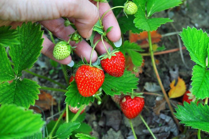 Vrouwenhand met verse die aardbeien in de tuin worden verzameld Verse organische aardbeien die op het gebied groeien royalty-vrije stock fotografie